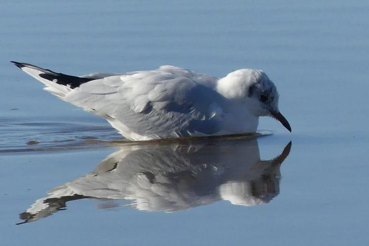 Reflection Animals In The Wild Animal Wildlife One Animal Water Bird No People Nature Outdoors Sea Animal Themes Beauty In Nature Seagull In Focus Seagull Seagull Swimming Birds Bird Photography Birdphotography Water Reflection Photo Waterreflections  EyeEmNewHere