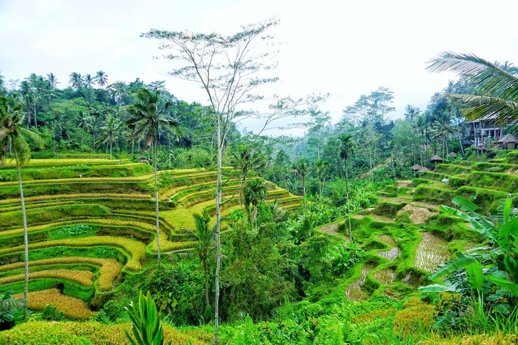 Tegalalang, Bali Bali Green Goodview Morningview Good Tree Rice Paddy Water Agriculture Sky Grass Green Color Plant Terraced Field Plantation Rice - Cereal Plant Farmland The Great Outdoors - 2018 EyeEm Awards
