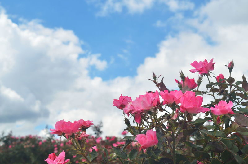 Beautiful Blue Sky White Clouds Natural Beauty Pink Summer Road Tripping Background Blue Sky Blue Sky With Clouds Close-up Flower Rose - Flower Sky Texture White