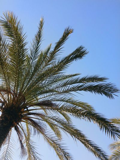 Beauty In Nature Blue Clear Sky Day Growth Low Angle View Nature Outdoors Palm Tree Sevilla Seville Sky Summer Tree Warm Weather