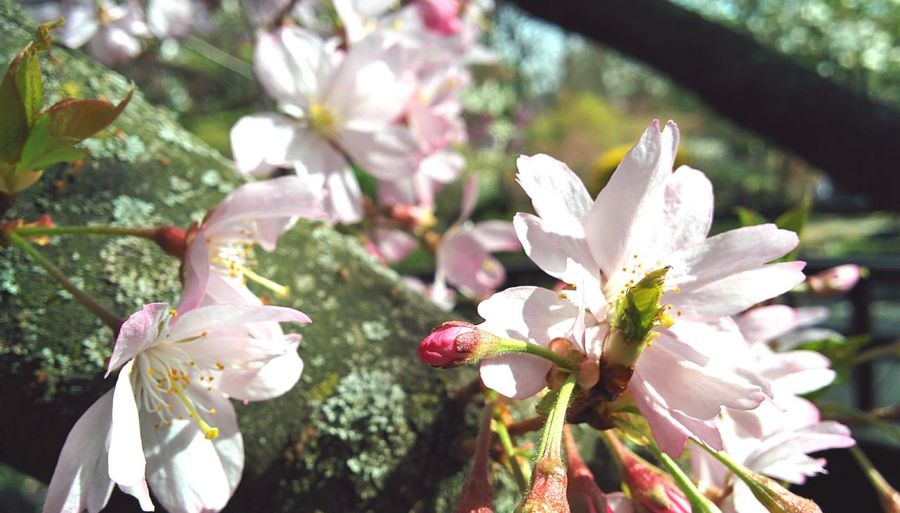 Sakura2016 Cherry Blossoms Softness Sunny Day Spring Has Arrived Spring Into Spring Spring Awakening Hanging Out Secret Garden Cherry Tree Warm Atmosphere EyeEm Nature Lover Pinkish Atmospheric Nature Bright Colors Things I Like Nexus5 Freshness