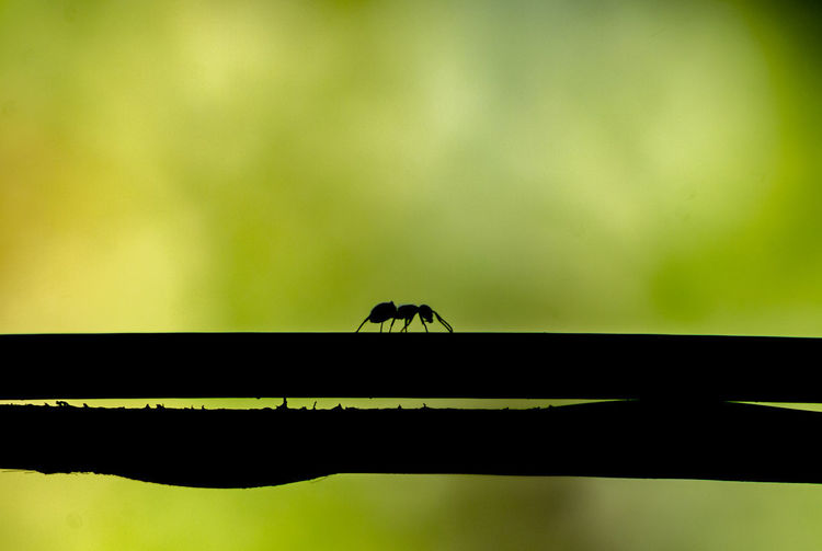 Ant Ants Insect