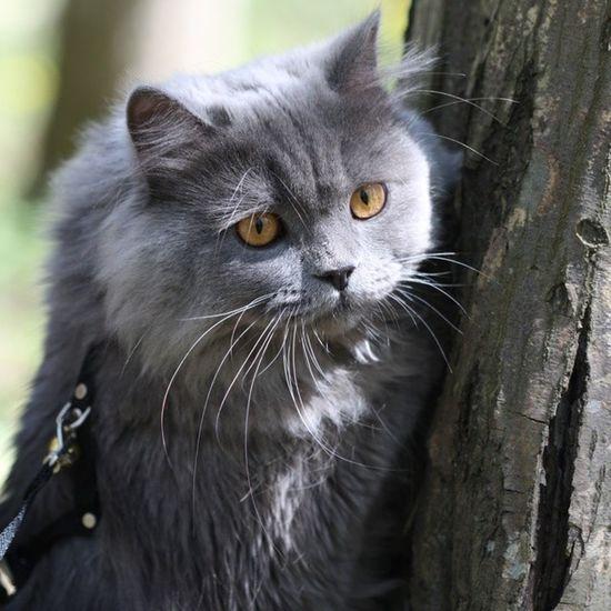 Duman British Longhair Cat kedi forest tree belgrad ormanı bebek baby sweet artiz atarlı follow takip ears yellow eyes