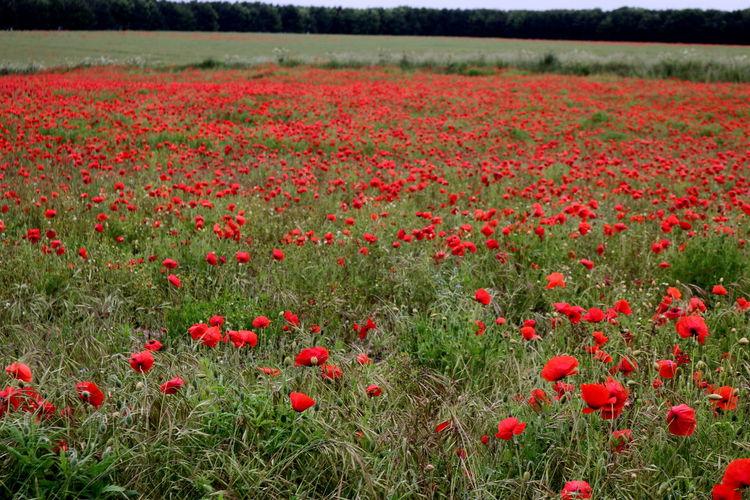 Red poppy flowers growing on field