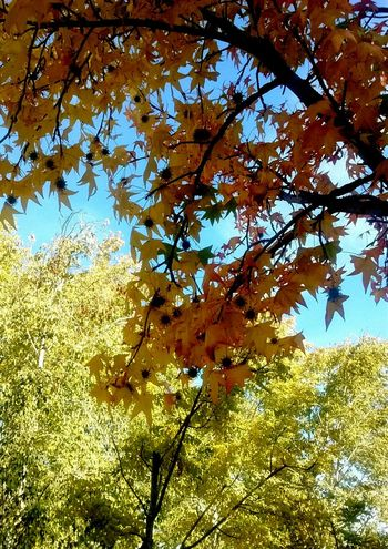 Otoño. Low Angle View Nature Growth Tree Beauty In Nature Branch Day Outdoors No People Full Frame Leaf Flower Fragility Sky Close-up Freshness Autumn🍁🍁🍁 Autumn Colors Hojas De Otoño Hojas Y Ramas Otoño 🍁 Tardor/Autumn Autumn Collection