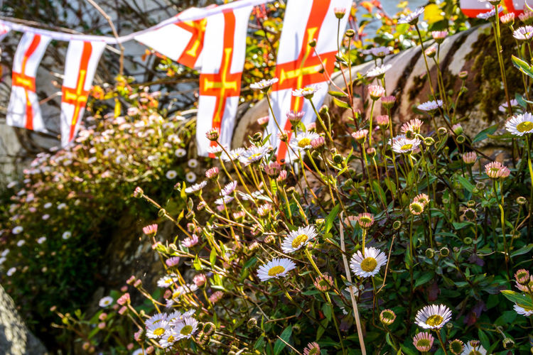 St Peter Port daisy with guernsey flag Daisy Guernsey Close-up Day Flag Growth Hanging Low Section Nature No People Outdoors Patriotism Plant St Peter Port Daisy Tree