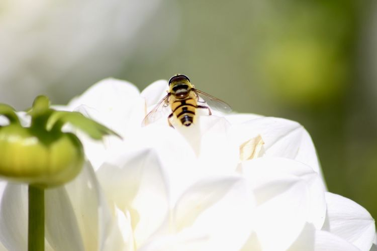 Close-up of bee on white flower