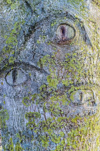Textured  Full Frame No People Backgrounds Plant Close-up Tree Day Tree Trunk Old Rough Trunk Weathered Moss Outdoors Pattern Nature Wood - Material Growth Bark Tree Eye Tree Eyes