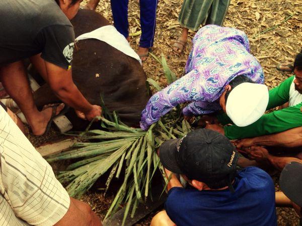 Pemotongan Hewan Kurban Lebaran Haji 2015 10 Dzulhijjah 1436 H