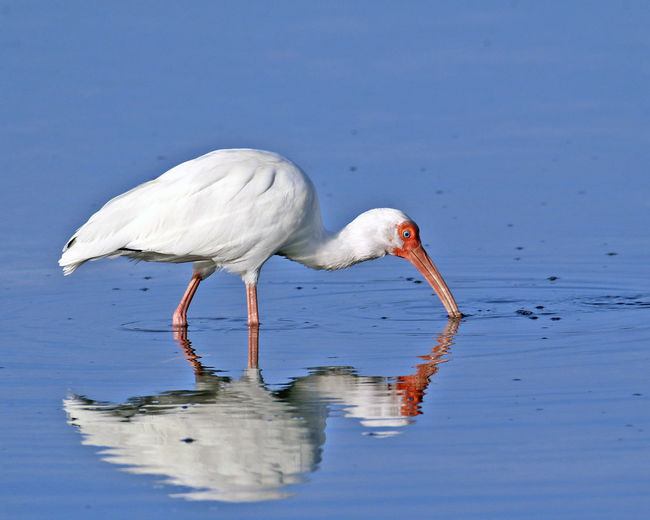 Side view of a white ibis