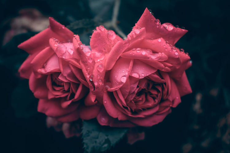 After the rain 🌸 Roses Rainy Days Summer Switzerlandpictures Flowers_collection Nikonphotographer EyeEm Best Shots EyeEm Best Shots - Nature EyeEm Gallery EyeEm Nature Lover Nature_collection Flower Head Flower Water Peony  Red Beauty Petal Rose - Flower Drop RainDrop Plant Life Rainy Season