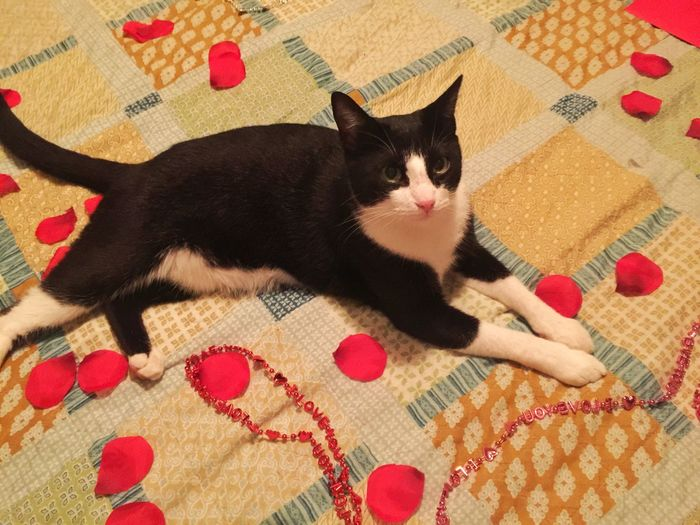 Cat Valentine's Day  Rose Petals Laying Down Close-up Petal Indoors