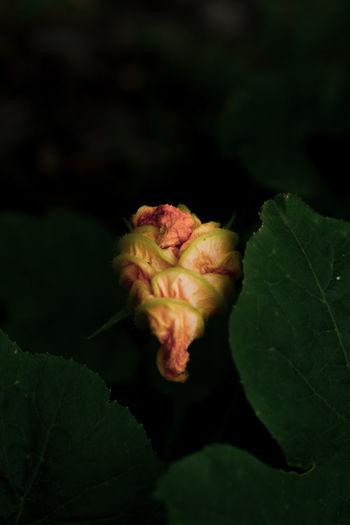 Close-up of rose plant against black background