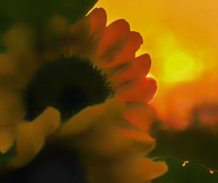 Painterly sunset Flower Freshness Close-up Flower Head Beauty In Nature Nikon D7000 Nikon Life Tranquil Scene Outdoors London Ontario Ontario, Canada Outdoor Photography Nikon Photography Canada Coast To Coast Sunset Sunflower Vibrant Color Yellow Countryside Field In Bloom Tranquility Beauty In Nature