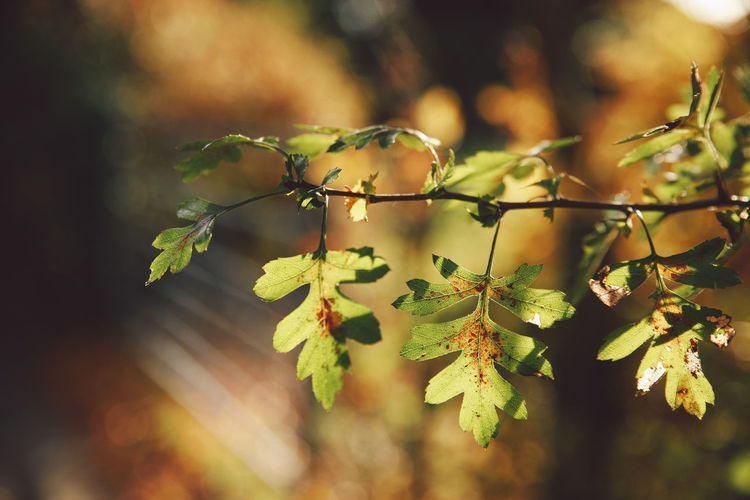 Autumn Colors Leafs Nature Branch Epsom Focus In Foreground Selective Focus Sunset Twig Uk