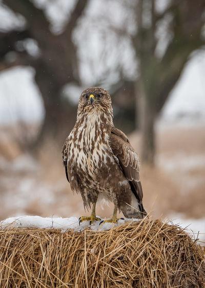 Birds in the wild Animal Bird Of Pray Bird,  Common Buzzard Fight Food Owl Snow Wildlife Winter