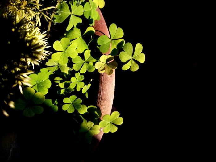 Plants 🌱 Potted Plant Luck EyeEm Selects Leaf Green Color Growth Plant Vine - Plant Close-up Grape Nature Outdoors No People Biology Day Black Background Flower Head