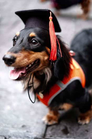 Close-up of dachshund dog wearing graduation hat
