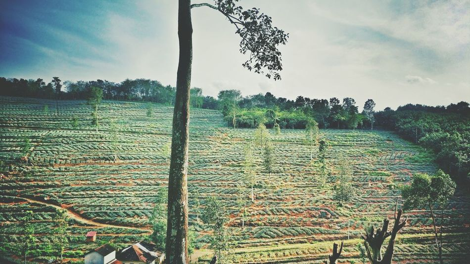 Rubber Kerala Medow Green Green Color Agriculture Outdoors Farm Nature Plant Tree Sky Field Growth Pineapple🍍 Pineapple Rubber Tree Kanjirappally First Eyeem Photo