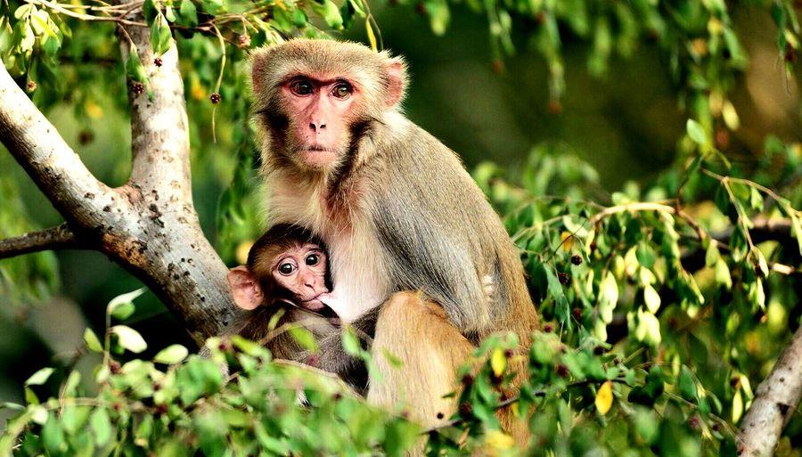 Close-Up Of Monkey Nursing Its Baby