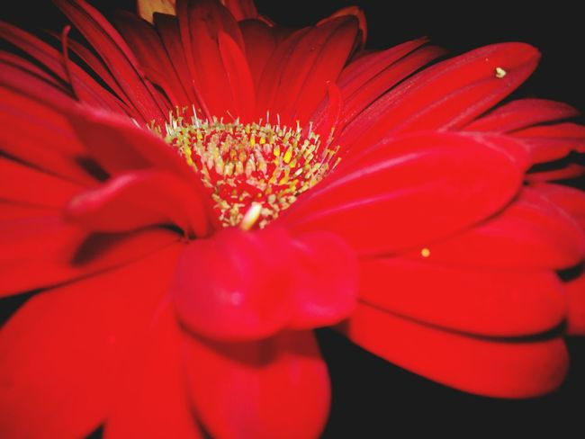 Red Flower Single Flower Bloom Blossom Macro Flowers Beauty In Nature Vibrant Color Scenics Close-up In Bloom Red Outdoors Nature Selective Focus Flower Head Full Frame Nature In The Night Huawei Shots Huawei Y5