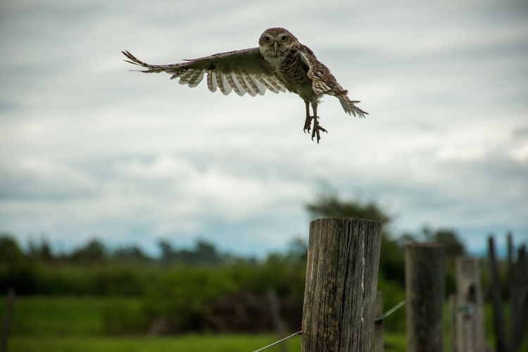 Bird flying over wooden post