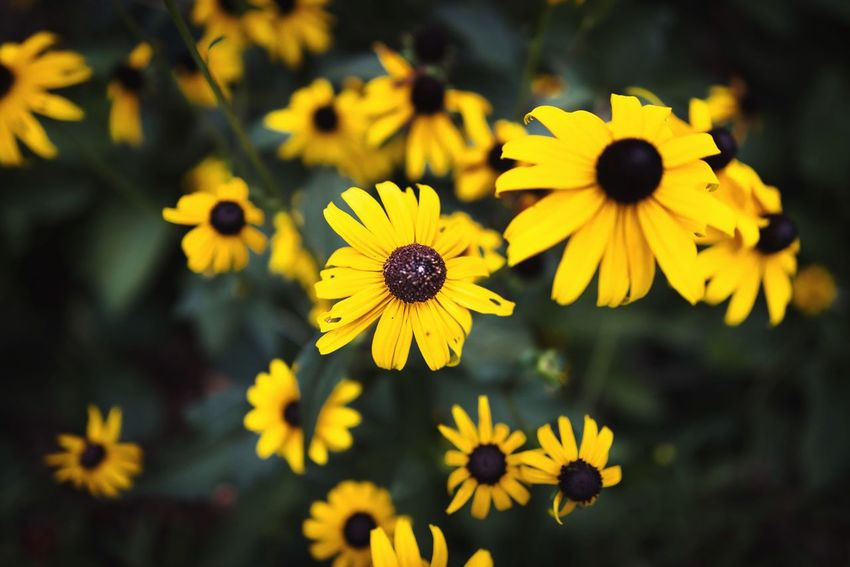 Flower Flowering Plant Yellow Freshness Fragility Vulnerability  Petal Flower Head Beauty In Nature Plant Growth Inflorescence Close-up Focus On Foreground Coneflower Pollen Black-eyed Susan Nature No People Day