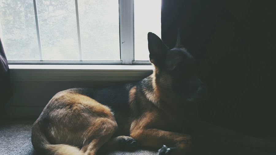 Agirlsbestfriend German Shepherd Mypup Dog