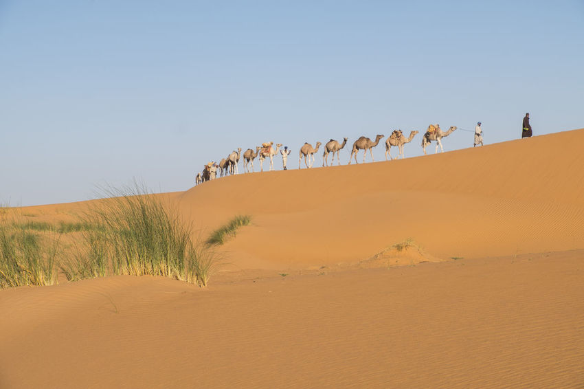 Camel Caravan is crossing the Sahara desert in soft afternoon light Sahara Desert Sand Dune Clear Blue Sky Afternoon Light Erg Ouarane Morocco Adventure Tourist Attraction  Travel Destination Land Sand Scenics - Nature Nature Tranquility Beauty In Nature Environment Tranquil Scene Clear Sky Remote Group Of People Desert Real People Arid Climate Climate Camel Caravan Sky Landscape Day Non-urban Scene Plant Beach
