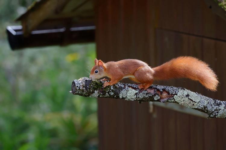 Close-up of squirrel on railing