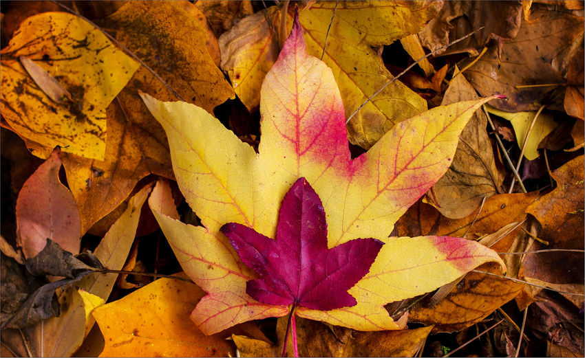 foglie e colori Autumn Autumn Beauty In Nature Change Close-up Colors Day Fragility Leaf Leaves Maple Leaf Beautifully Organized Nature No People Outdoors
