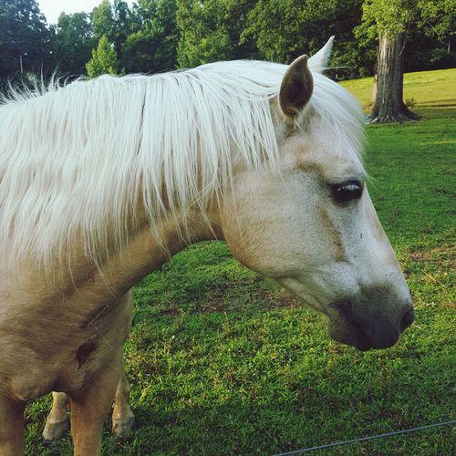 Palomino with a slight attitude . Field Grass Close-up Mane Horse Bridle Stable Horseback Riding
