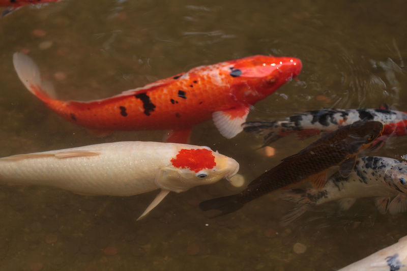Koi fish, Cyprinus carpio haematopterus, eating in a koi pond in Japan Animal Themes Carp Fish Close-up Cyprinus Carpio Cyprinus Carpio Haematopterus Day Gosanke Japan Kohaku Koi Fish Koi Pond No People Pond Sanshoku Showa Sanshoku Swimming Taisho Water