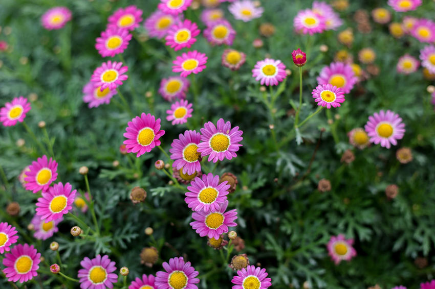 Flower Flowering Plant Plant Freshness Beauty In Nature Fragility Growth Vulnerability  Petal Pink Color Flower Head Close-up Nature Inflorescence No People Multi Colored Day Focus On Foreground Outdoors Garden Springtime Flowerbed