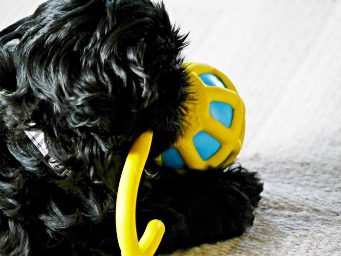 Shih Tzu Animal Themes Black Fur Close-up Cute Dog  Day Indoors  No People Playing Playtoy Puppy Yellow