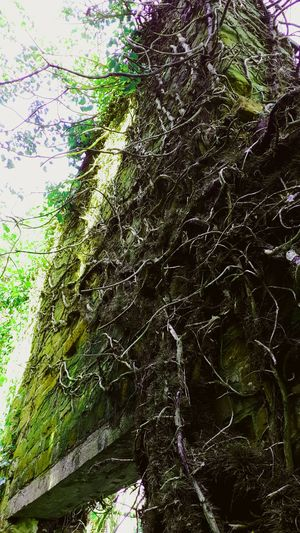 Roots Of Tree Old Buildings Chimney Nature Outdoors Growth No People Mothernature Ruins Still Beautiful