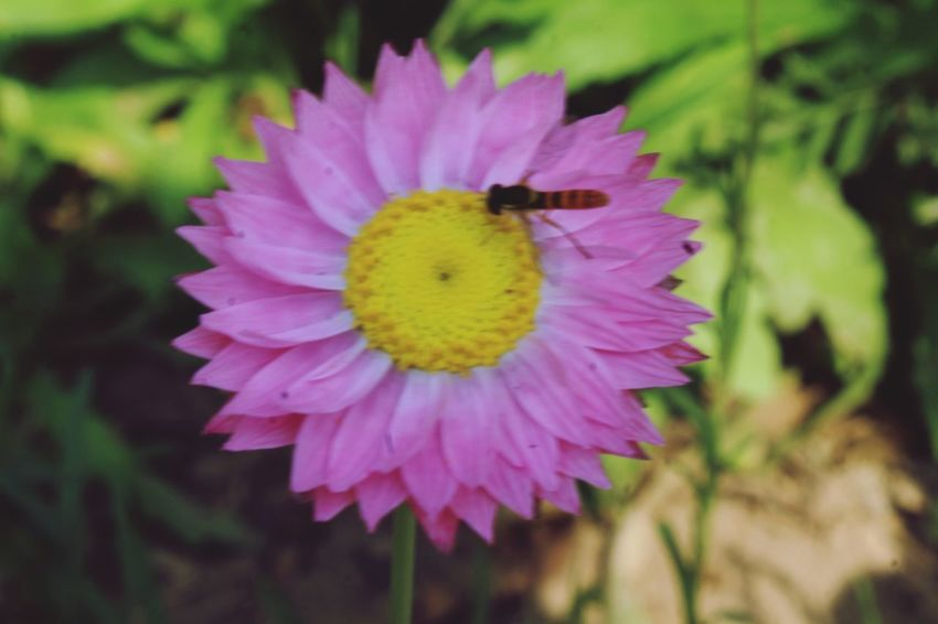flower Flower Head Flower Bee Insect Petal Pollination Close-up Animal Themes Plant Bumblebee Passion Flower Buzzing Symbiotic Relationship In Bloom Cosmos Flower Butterfly - Insect Eastern Purple Coneflower Blooming