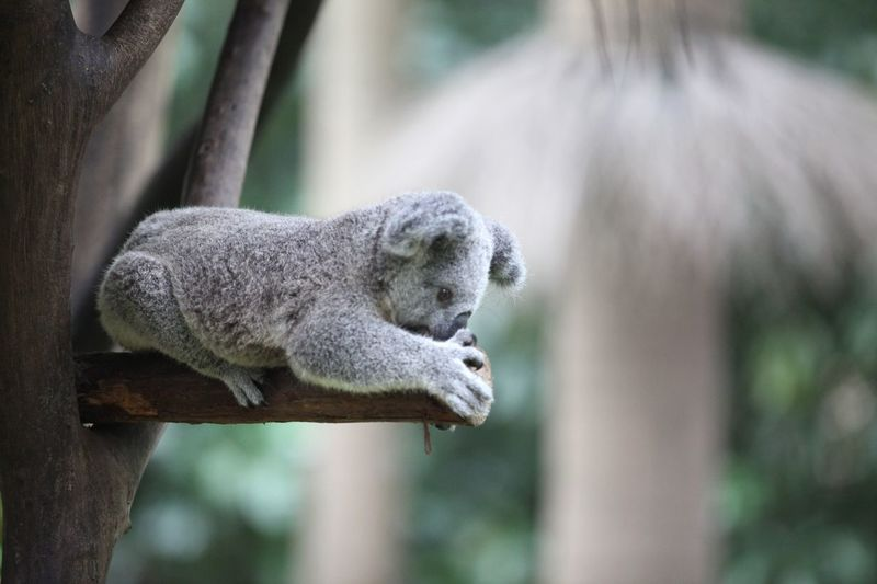 Close-up of koala on tree branch