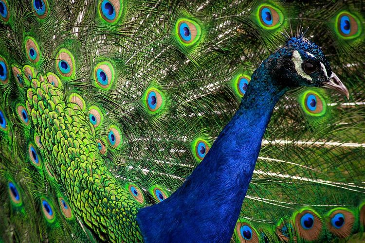 Proud Peacock Green Color Blue Feather_perfection Feathers Beautiful Animal Themes Animals Bird Photography Animal Harmony With Nature Peacock Peacock Feather Peacock Colors Colours Of Nature Bird Birds Of EyeEm  Birds_collection Proud Bird Pfau Fanned Out Animal Crest Cardinal - Bird Male Animal Showing Off