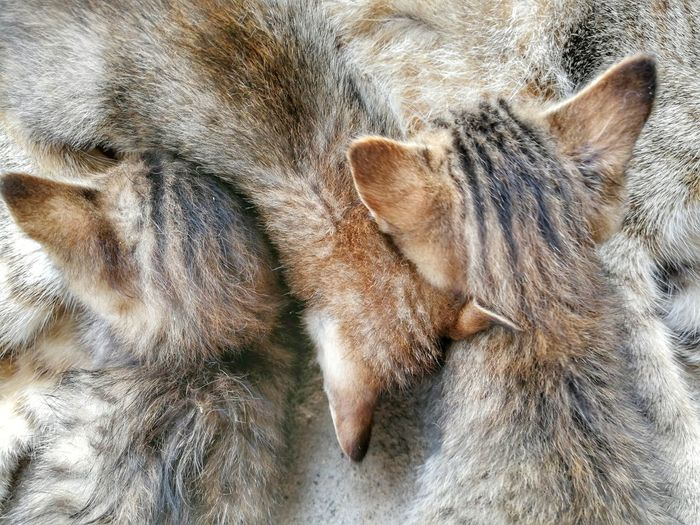 Kittens Pets Bed Relaxation High Angle View Feline Domestic Cat Sheet Close-up Cat Whisker Stray Animal Kitten Napping Pet Bed