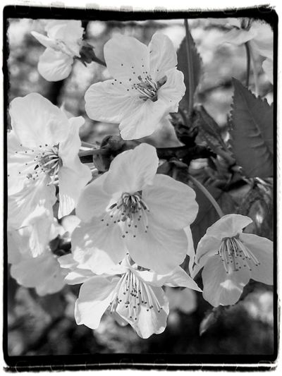 Springtime Spring Flowers Springtime Blossoms Black And White Photography Flower Head Flower Petal Close-up Plant Plant Life Softness Blossom Botany Pistil In Bloom