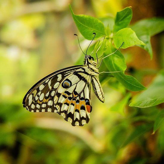 Butterfly Macrographystyles_gf Macro Green ig_captures igdaily farfalla insect bestoftheday crispycapture crisp wonderful nature natura shotoftheday tv_depthoffield fotografia photo macroworld_tr photoark dof bokeh_and_blur bokeh dof_addicts bokehful mostradifotografie