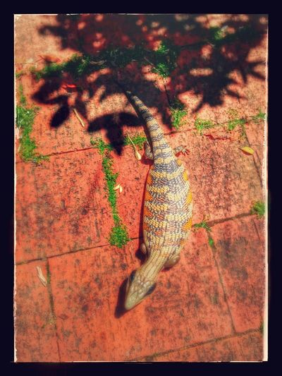 Bluetongue lizard Reptile Bluetonguelizard Bluetongue Australian Wildlife Australia Sunbaking Summer ☀ Summer Lizard Lizards Blue Tongue Animal Sun Baking Lizards In The Sun Lizard Close Up