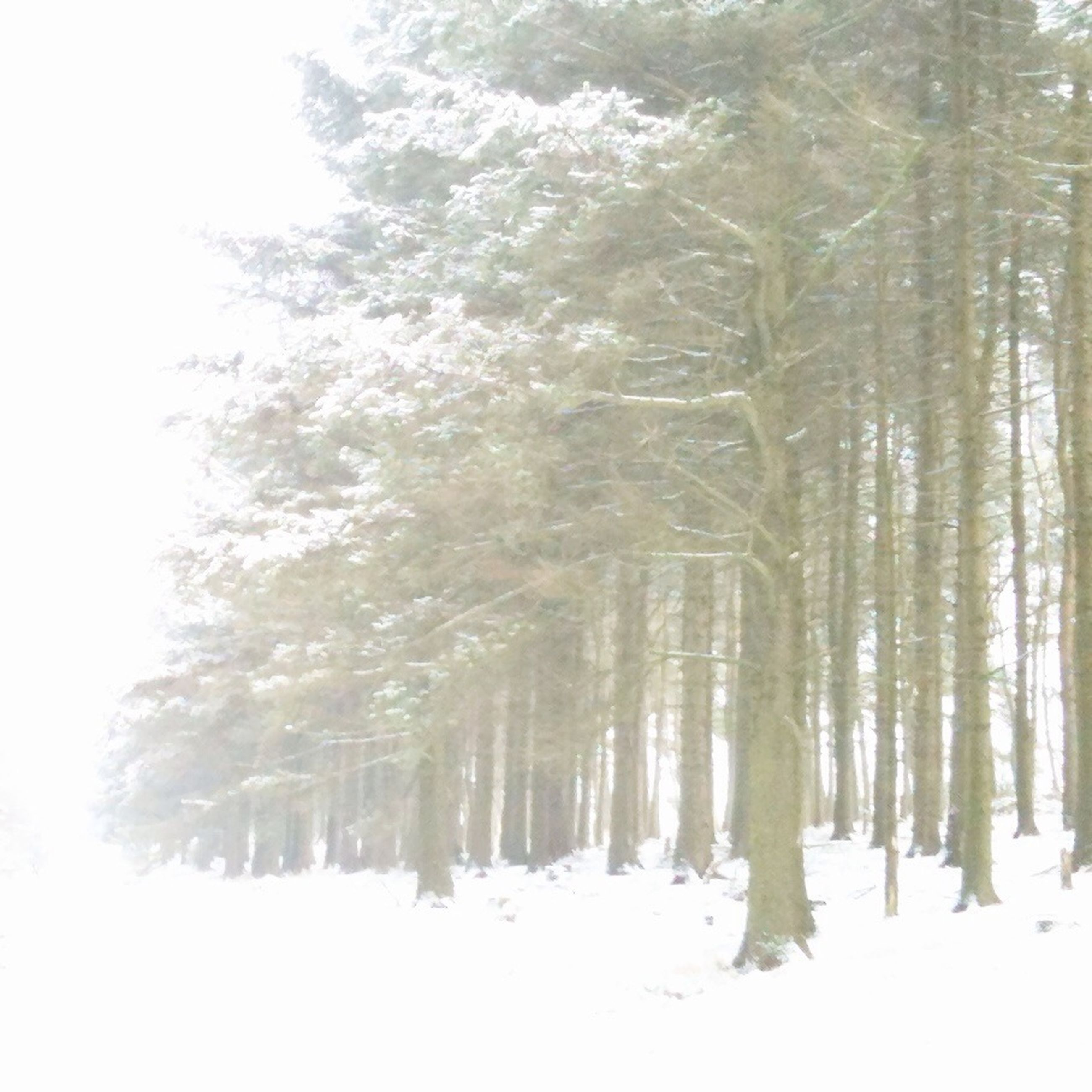 snow, winter, cold temperature, tree, tranquility, weather, season, tranquil scene, forest, nature, woodland, beauty in nature, tree trunk, scenics, covering, landscape, growth, non-urban scene, field, white color