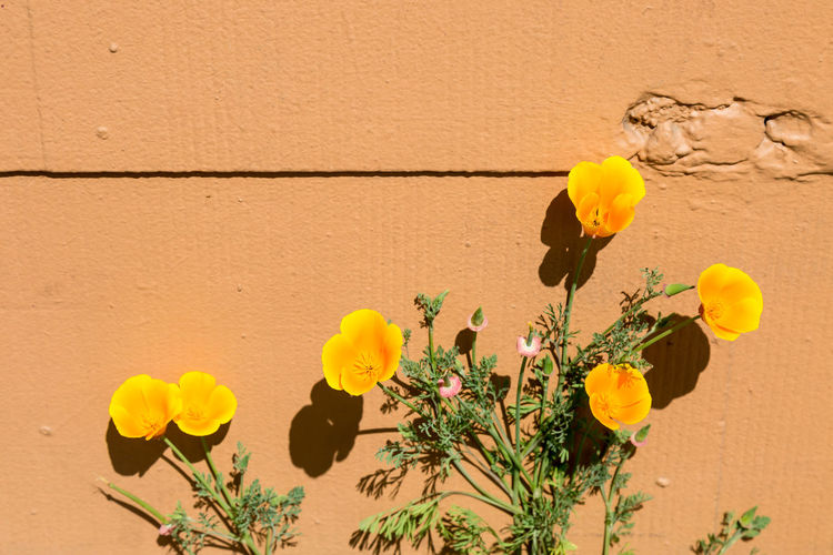 Californian Poppies growing against a wall Architecture Beauty In Nature Blooming Californian Poppy Close-up Day Flower Flower Head Fragility Freshness Growth Nature No People Orange Outdoors Plant Poppies  Sunlight Wall - Building Feature Yellow