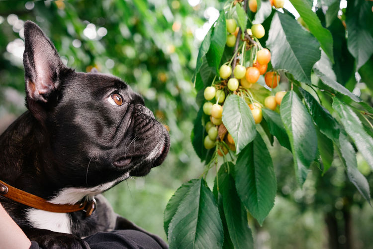 Close-up of a black dog and cherry tree