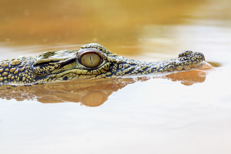 crocodile in water Animal Animal Body Part Animal Eye Animal Head  Animal Scale Animal Themes Animal Wildlife Animals In The Wild Close-up Crocodile Day Eye Lake Nature No People One Animal Reflection Reptile Snout Stealth Surface Level Swamp Vertebrate Water