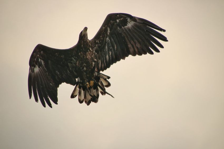 Spread Wings Flying Bird Of Prey Black Color Full Length Animal Themes Eagle - Bird Hawk - Bird Bird