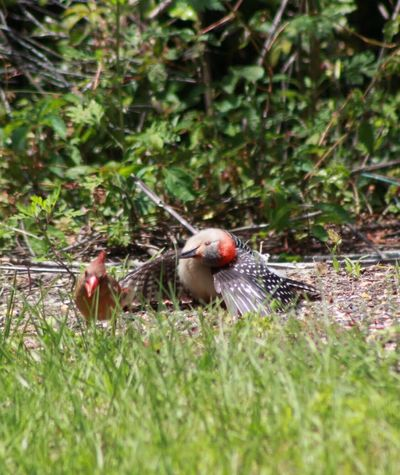 Birdwatching Bird Photography Woodpecker Red-Billied Woodpecker Melanerpes Carolinus Enjoying Nature God's Beauty Strange Behavior