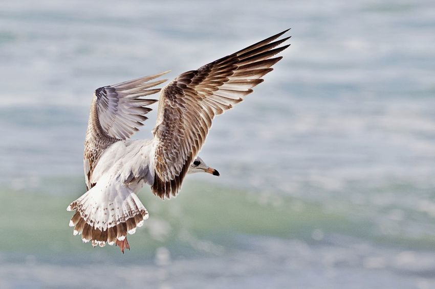 Animal Wildlife Animals In The Wild Animal Bird Animal Themes Flying Spread Wings One Animal Motion Mid-air Focus On Foreground Sea Nature No People Animal Wing Outdoors Seagull Flapping